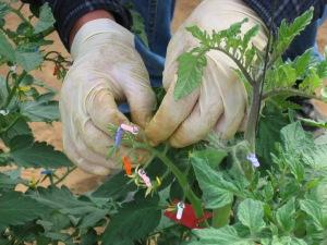הכנת זני-כלאיים בעגבניות. צילום: יוסף מזרחי