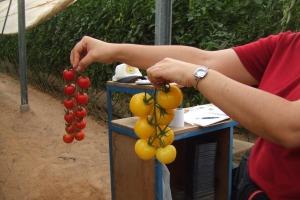 עגבניות באשכולות צילום: יוסף מזרחי