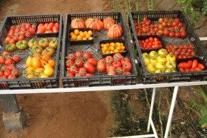 עגבניות. צילום: יוסף מזרחי