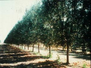 עצי זית. צילום: שמעון לביא